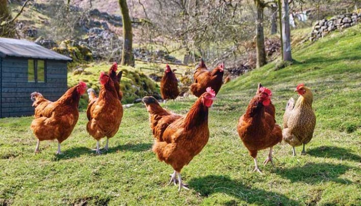 The Many Benefits of Raising Chickens