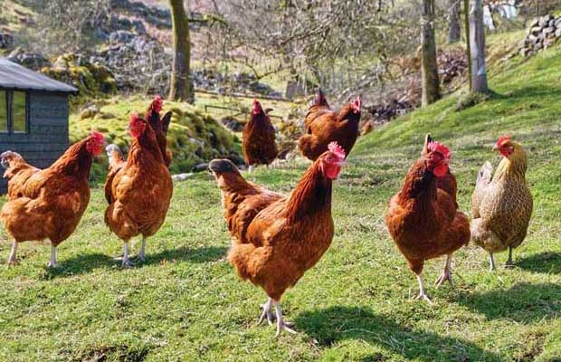 the many benefits of raising chickens the prepper journal