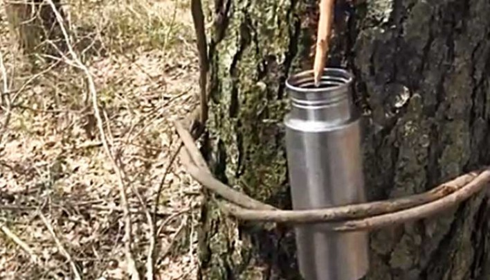Survival Water From A Tree