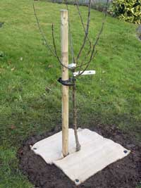 fruit-tree-planted