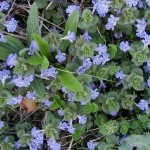 Ground Ivy