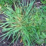 Quack Grass