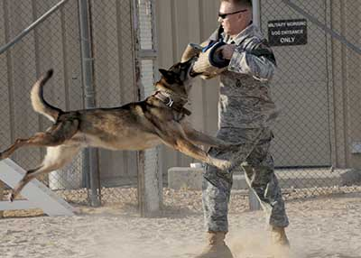 The Military uses Malinois for bomb detection and protection work for Special Forces.