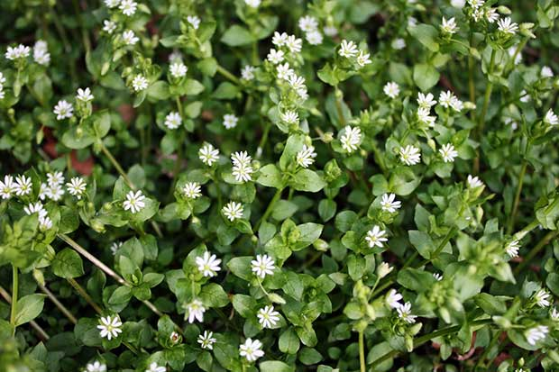Chickweed is a very nutritious herb, containing Vitamins A, B1, B2, B3, C, E along with Calcium, Copper, Iron, Magnesium, Manganese, Phosphorous, Potassium, Selenium, Silicon, Sodium, Sulfur and Zinc plus essential fatty acids. It can be eaten as a salad vegetable or cooked and eaten like cabbage.