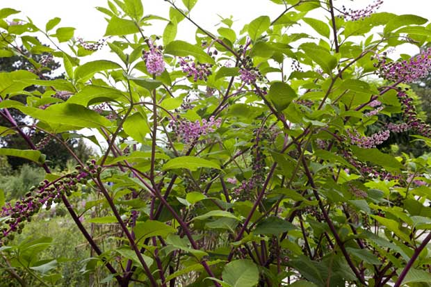 Pokeweed can be poisonous if not prepared carefully.