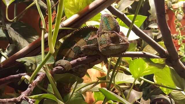 chameleon-995128_640(1)