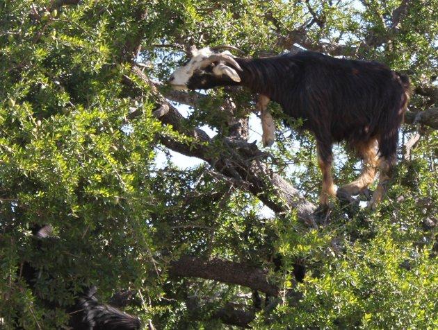 Goat climbing and eating black locust