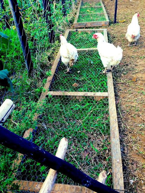 Chicken grazing frame