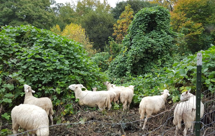 Sheep eating Kudzu