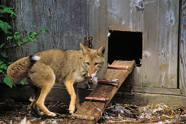 how to catch a fox attacking your chickens