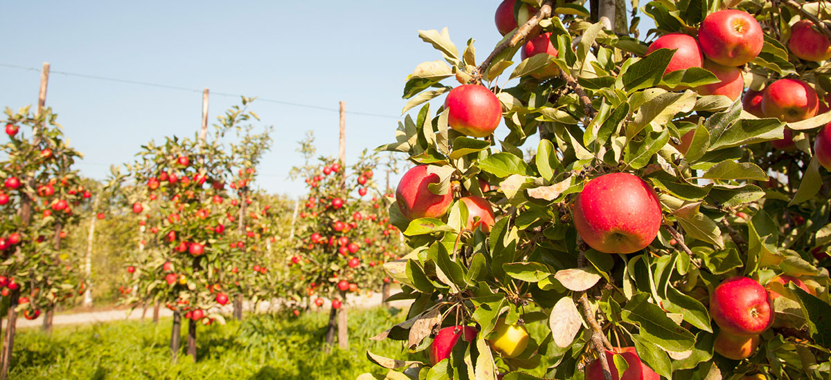 Planning Your Homestead Orchard Benefits Of Dwarf Trees