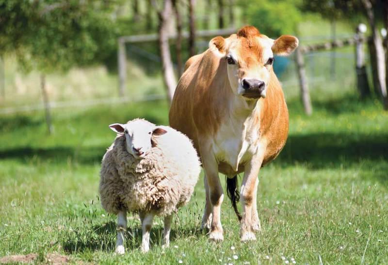 sheepcow