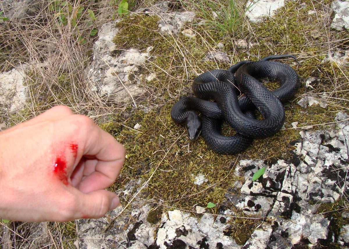 How to Survive a Venomous Snake Bite - The Prepper Journal