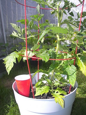 after you are satisfied with the way you have planted the tomato plant soak the potting soil and the plant with water wait for another 10 minutes or so