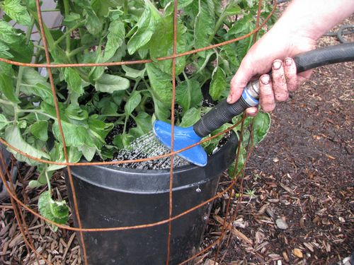 Urban preppers how to grow tomatoes in pots the prepper - How often should you water your garden ...
